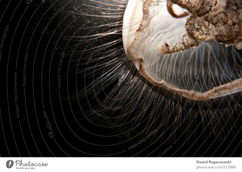 Ohrenqualle ruhig schwarz Tier braun Perspektive ästhetisch authentisch weich bedrohlich Wissenschaften außergewöhnlich leuchten bizarr Unterwasseraufnahme Anschnitt Qualle