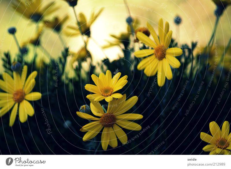 blümlein scheinen um die wette Natur schön grün Pflanze Sommer gelb Blüte Frühling Blühend Margerite Blütenblatt