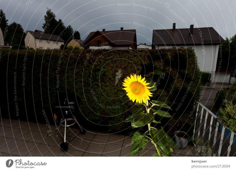 solitude standing Pflanze Sommer ruhig Blüte Sonnenblume Terrasse Hecke bedeckt Perspektive Gewitterwolken Wolkenhimmel Wolkendecke