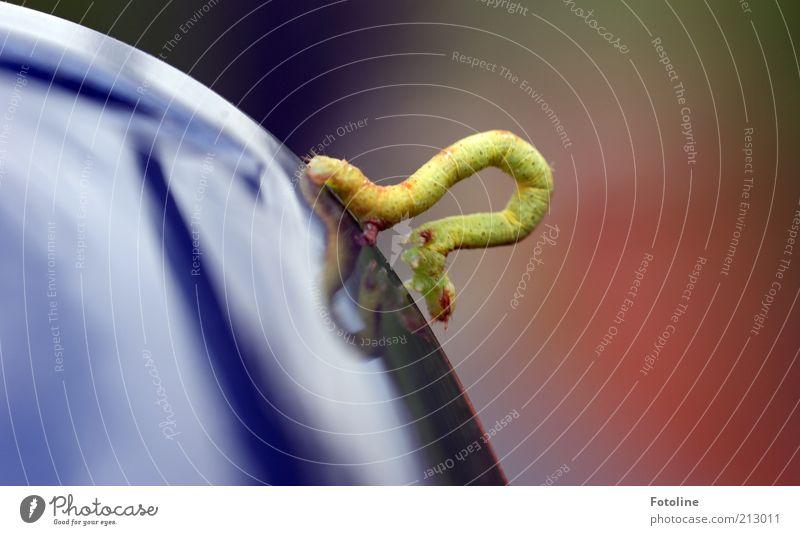 Ich bin ein Ast Natur grün blau Sommer Tier Umwelt nah dünn natürlich Wildtier krabbeln gekrümmt Raupe schlangenförmig