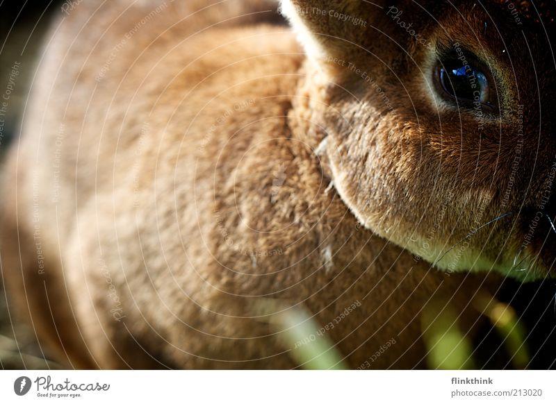Schau mir in die Augen Kleines ;-) Haustier Nutztier Zoo Streichelzoo Hase & Kaninchen 1 Tier beobachten entdecken Blick schön braun Farbfoto Außenaufnahme