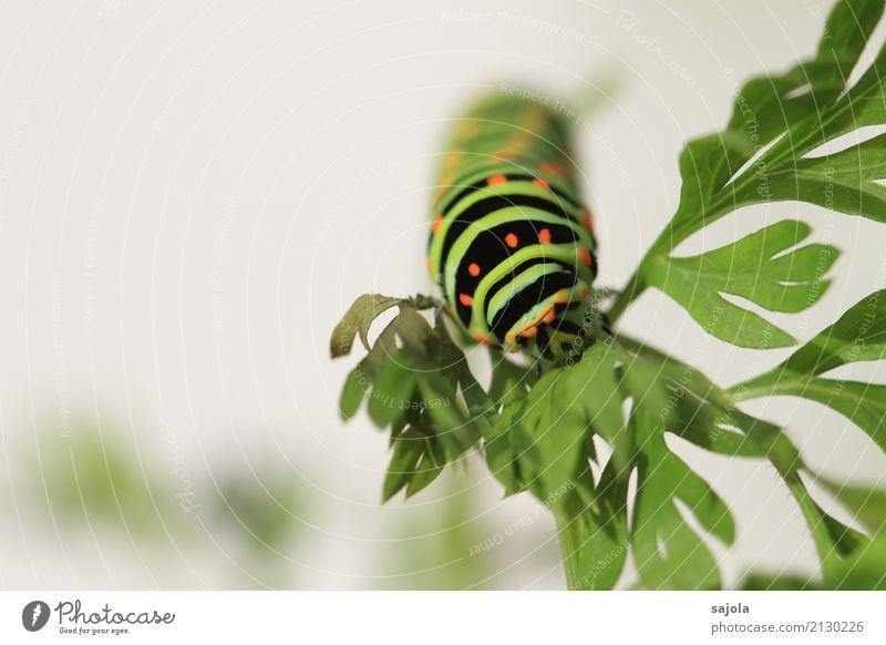 rüebliraupe - fressen Tier Pflanze Wildtier Raupe 1 Fressen ästhetisch grün orange schwarz gestreift gepunktet Muster Schmetterling Metamorphose festhalten
