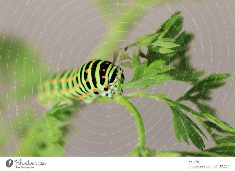rüebliraupe - fressen und festhalten Umwelt Tier Pflanze Wildtier Schmetterling Raupe 1 Fressen ästhetisch grün orange schwarz gestreift gepunktet Muster