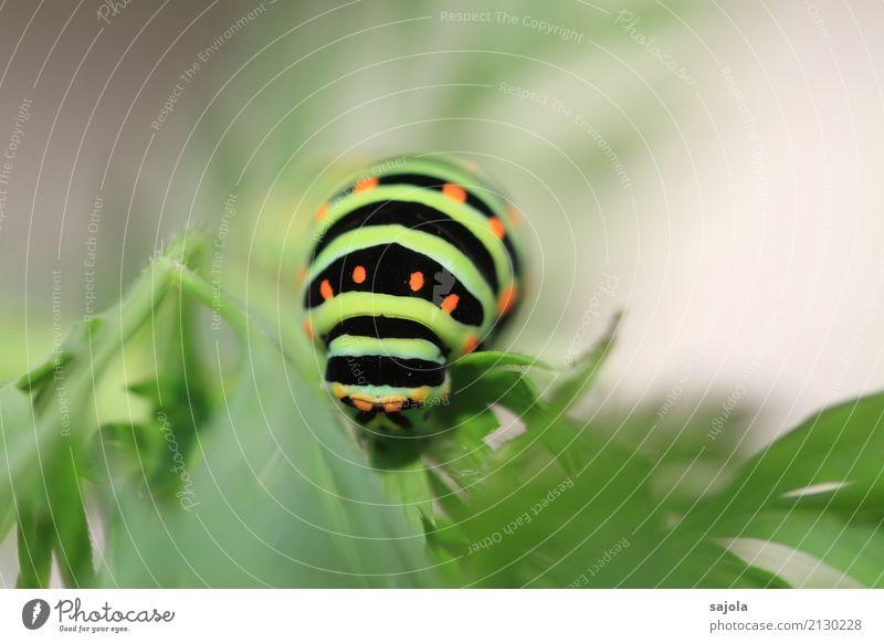 rüebliraupe - fressen kopfsache Natur Tier Pflanze Wildtier Schmetterling Raupe Kopf 1 Fressen Überleben Schwalbenschwanzraupe gestreift gepunktet Muster