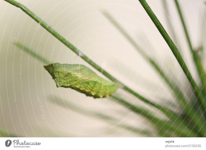 rüebliraupe - verpuppt Tier Wildtier Schmetterling Schmetterlingspuppe 1 grün ruhig Wandel & Veränderung verwandeln Ruhephase Schwalbenschwanz