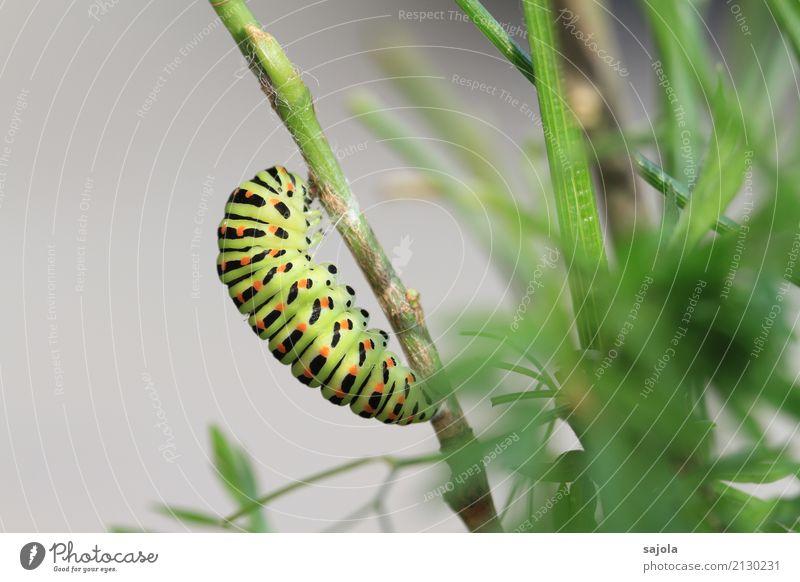rüebliraupe - vor der verpuppung Pflanze grün Erholung Tier ruhig schwarz orange ästhetisch Wildtier Wandel & Veränderung festhalten Schmetterling gestreift