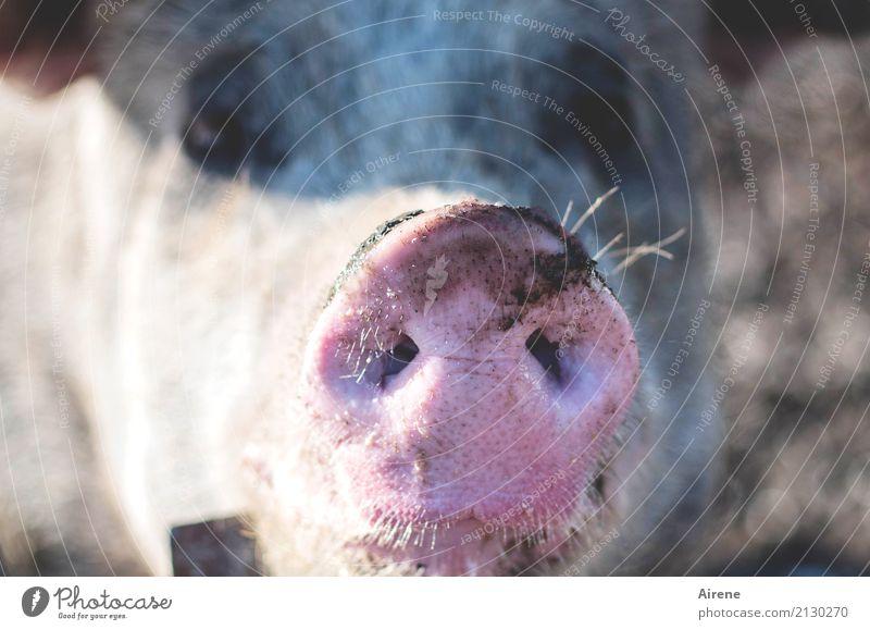 Wehe...! Tier lustig natürlich Glück rosa frei Lebensfreude beobachten Neugier Hoffnung Landwirtschaft Bauernhof nah Haustier nachhaltig Forstwirtschaft