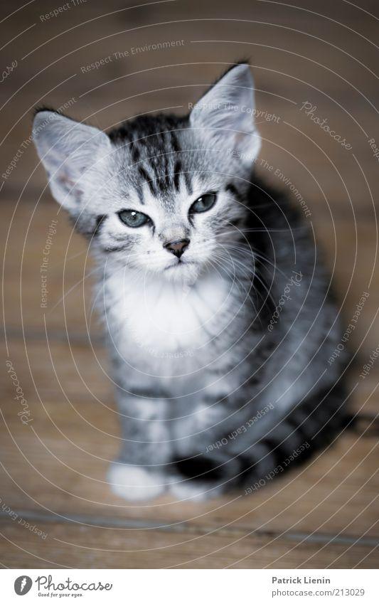 sweet kitten Umwelt Tier Haustier Katze Tiergesicht Fell 1 Blick sitzen schön klein Stimmung Zufriedenheit Vertrauen Farbfoto Nahaufnahme Menschenleer Tag