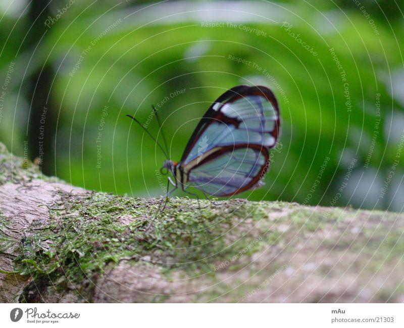 Blauer Schmetterling Natur blau Baum ruhig Ast durchsichtig morsch