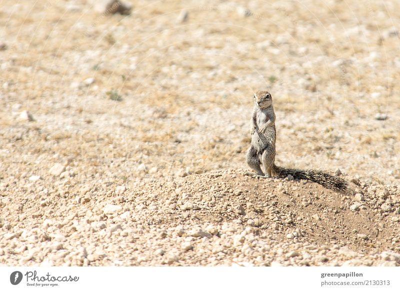 Erdhörnchen Ferien & Urlaub & Reisen Tourismus Ausflug Abenteuer Ferne Freiheit Safari Expedition Sommerurlaub Umwelt Natur Landschaft Erde Sand Wüste Nagetiere