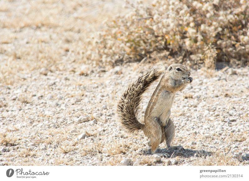 Erdhörnchen Ferien & Urlaub & Reisen Natur Landschaft Essen Tourismus braun Ausflug wild Wüste Wildnis Nagetiere Dürre Safari Namibia Südafrika