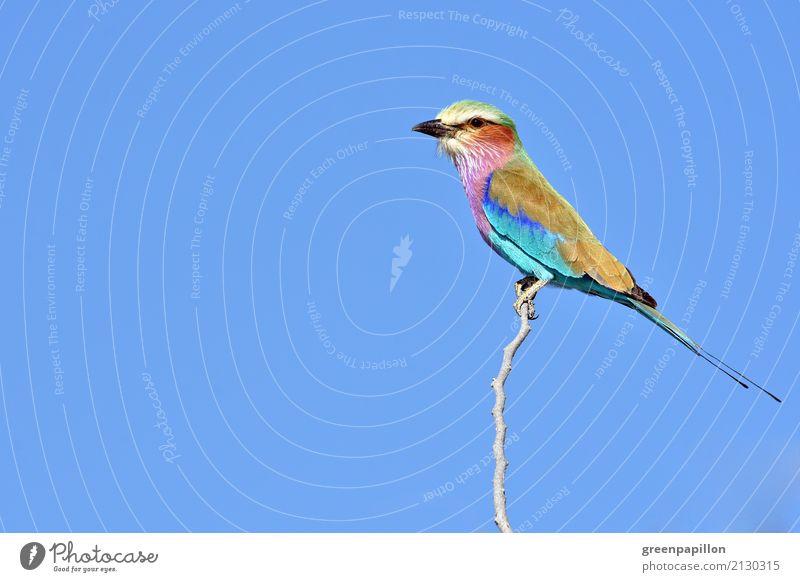 Buntes Federvieh - Gabelracke in Namibia Himmel Natur blau Tier Freiheit Vogel fliegen Luft Afrika Nationalpark Optimismus Savanne Etoscha-Pfanne