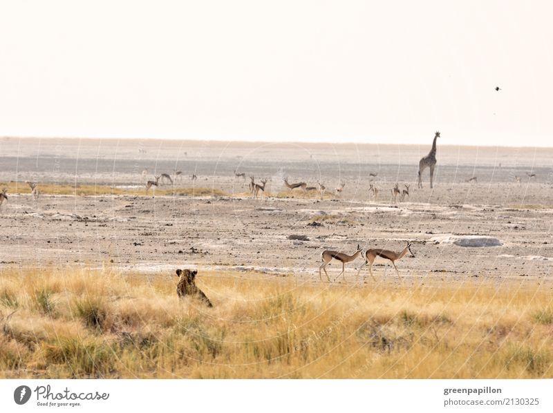 Servierteller - Wasserloch in der Etosha-Pfanne Ernährung Savanne Afrika Namibia Wasserstelle Buschland Nationalpark Etoscha-Pfanne Wildtier Löwe Giraffe