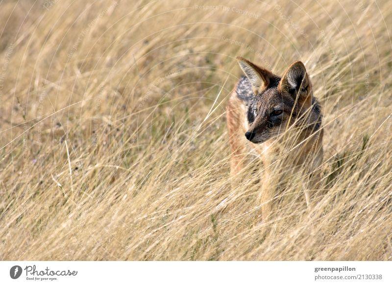 Schakal Gras Sträucher Savanne Etoscha-Pfanne Nationalpark Namibia Afrika Afrikanisch Wildhund beobachten Abenteuer Schabrackenschakal Farbfoto