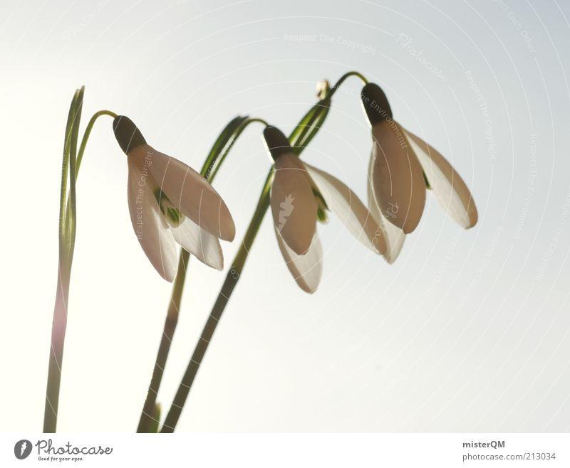 Vorfreude. Natur weiß Pflanze Blüte Frühling Wetter Umwelt 3 ästhetisch Wachstum Blume Stengel Jahreszeiten Ziffern & Zahlen Blütenblatt Schneeglöckchen