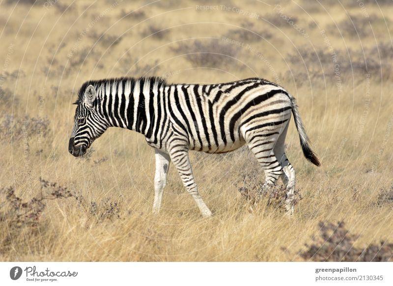 Zebrastreifen Gras Sträucher Savanne Etoscha-Pfanne Namibia Afrika Afrikanisch Tierjunges laufen schwarz weiß Freiheit Zebrafohlen Fohlen Textfreiraum unten