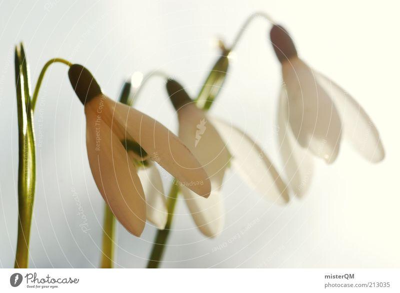 Warme Kälte. Umwelt Natur Pflanze Klima Wetter Schönes Wetter ästhetisch Schneeglöckchen weiß Frühling Jahreszeiten Blühend Frühblüher 3 Blume Blüte
