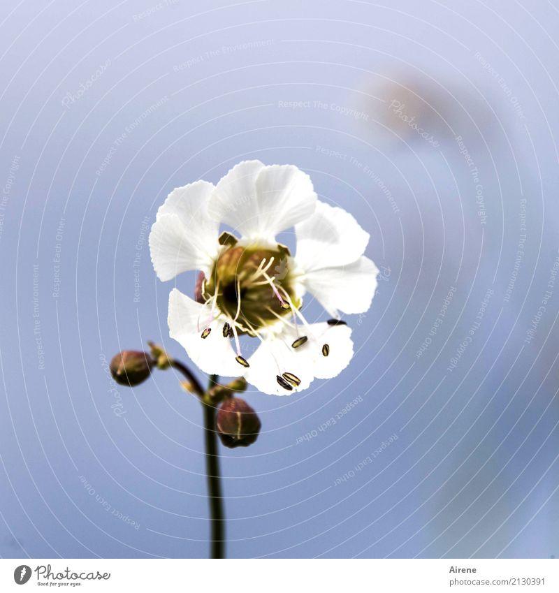 die Unscheinbare Natur Pflanze Himmel Wolkenloser Himmel Blume Blüte Leimkraut Nelkengewächse Malvengewächse Blühend einfach exotisch Freundlichkeit hell schön