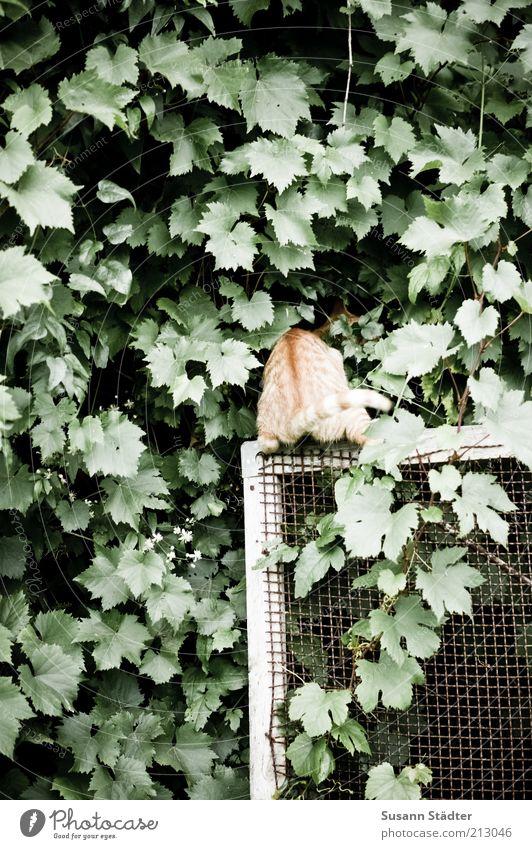 guckguck Pflanze Garten Tier Katze wildwuchs Wilder Wein Efeu Ranke Fliegengitter Neugier Suche verstecken Interesse Spielen Spieltrieb Katzenbaby Hinterteil