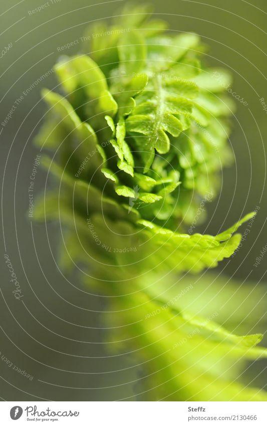 Pflanzenporträt Natur Frühling Farn Grünpflanze Farnblatt Jungpflanze Gartenpflanzen Straußenfarn Park Wald Wachstum schön grün hellgrün Unschärfe zartes Grün