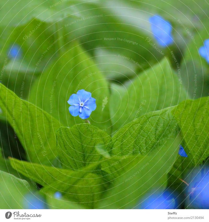 Blütezeit Natur Pflanze Frühling Blume Blatt Gartenpflanzen Blattadern Park Blühend Wachstum Freundlichkeit klein schön blau grün 1 grün-blau blau-grün