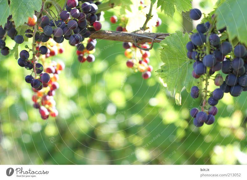 Weinberg Natur blau Sommer Blatt Ernährung Herbst Gesundheit Lebensmittel Frucht frisch Wachstum violett Landwirtschaft reif Ernte