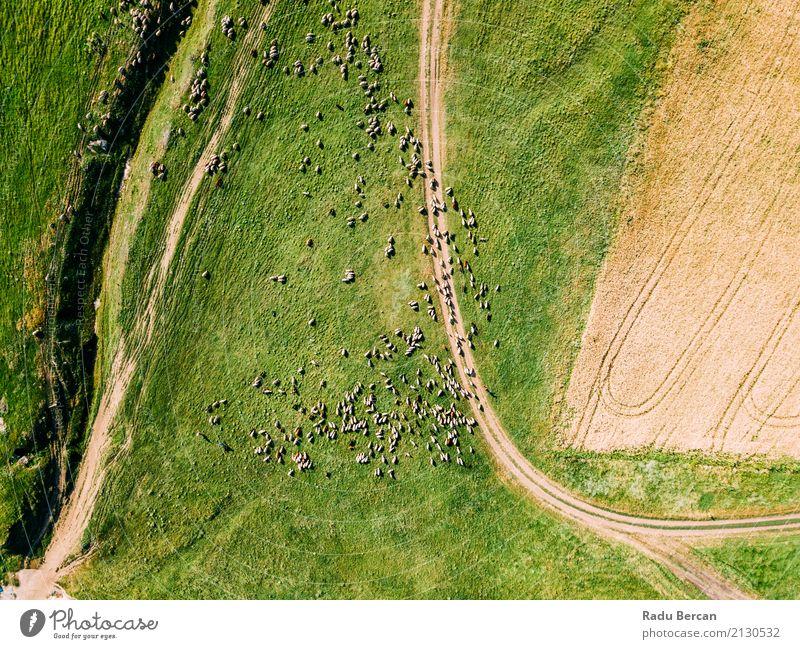 Luft-Brummen-Ansicht der Schaf-Herde, die auf Gras einzieht Natur Sommer grün Landschaft Tier Umwelt Wiese fliegen oben Feld Aussicht Europa Abenteuer
