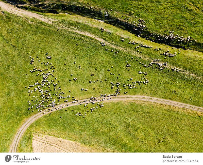 Luft-Brummen-Ansicht der Schaf-Herde, die auf Gras einzieht Natur Sommer grün Landschaft Tier Ferne Umwelt Wiese oben Feld Europa Tiergruppe Fotografie Hügel