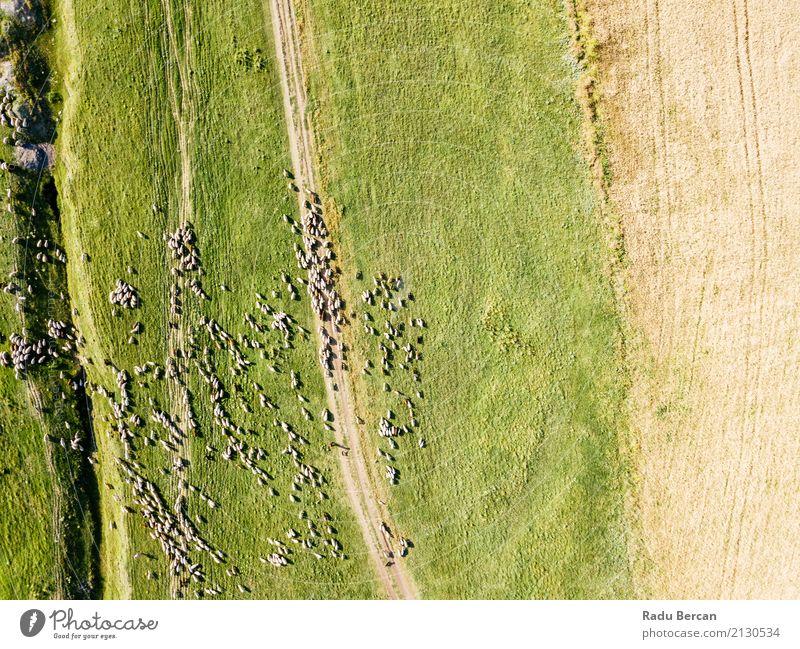 Luft-Brummen-Ansicht der Schaf-Herde, die auf Gras einzieht Umwelt Natur Landschaft Tier Sommer Schönes Wetter Wiese Feld Hügel Flugzeugausblick Nutztier