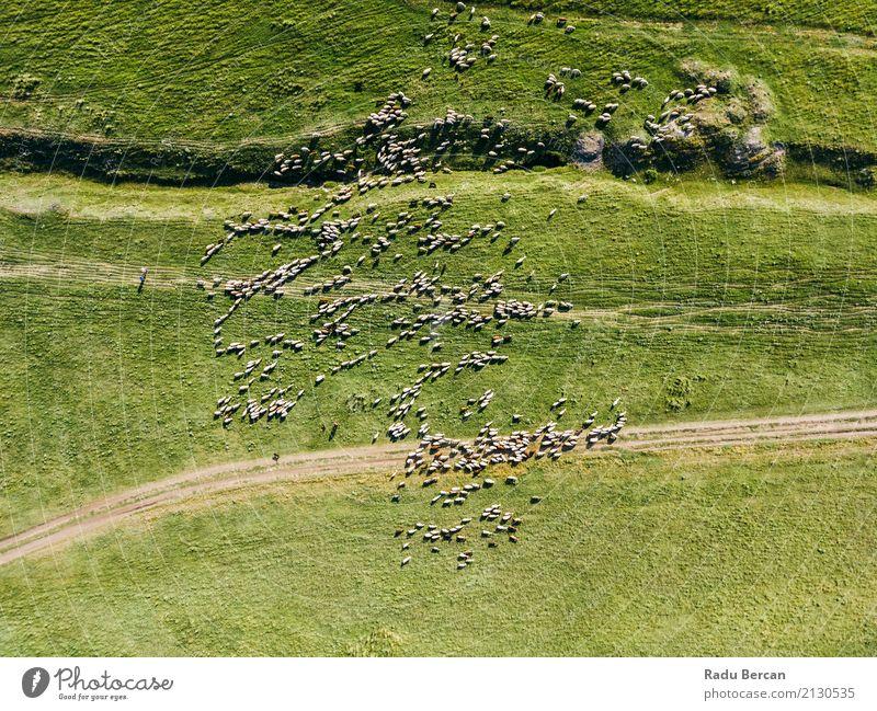 Luft-Brummen-Ansicht der Schaf-Herde, die auf Gras einzieht Natur Sommer grün Landschaft Tier Ferne Umwelt Wiese oben Feld Aussicht Europa Tiergruppe Hügel