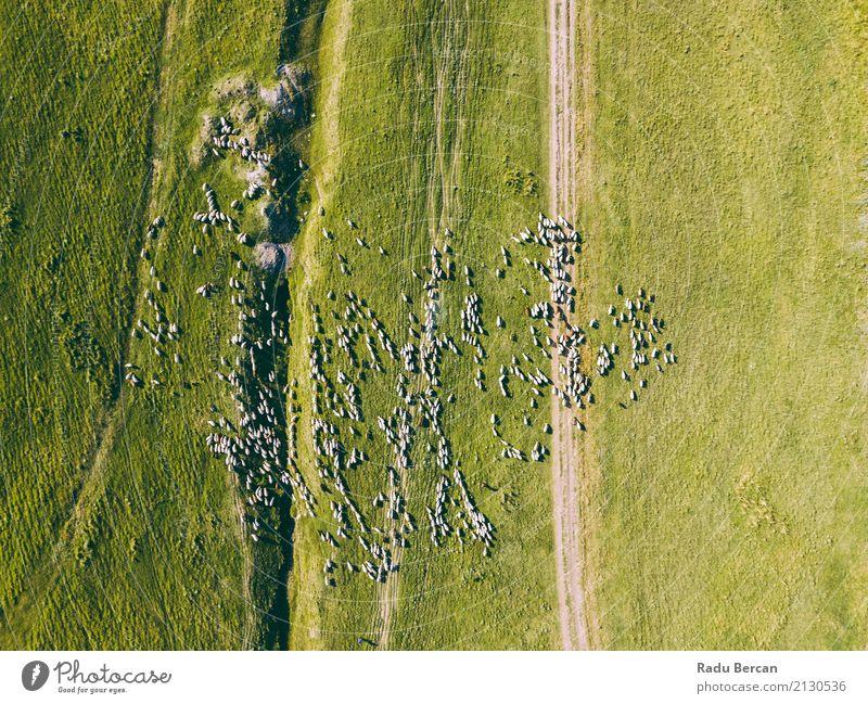 Luft-Brummen-Ansicht der Schaf-Herde, die auf Gras einzieht Umwelt Natur Landschaft Tier Erde Sommer Wiese Feld Hügel Flugzeugausblick Nutztier Tiergruppe