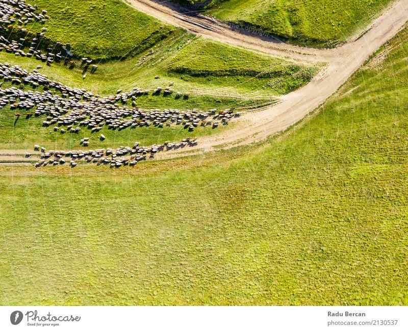 Luft-Brummen-Ansicht der Schaf-Herde, die auf Gras einzieht Natur Sommer Farbe grün Landschaft Tier Ferne Essen Umwelt Wiese oben Feld Erde Aussicht Europa