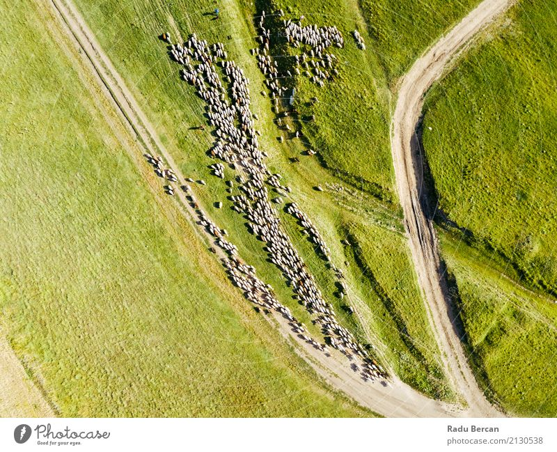 Luft-Brummen-Ansicht der Schaf-Herde, die auf Gras einzieht Natur Sommer Farbe grün Landschaft Tier Ferne Essen Straße Umwelt Wiese Wege & Pfade Bewegung oben