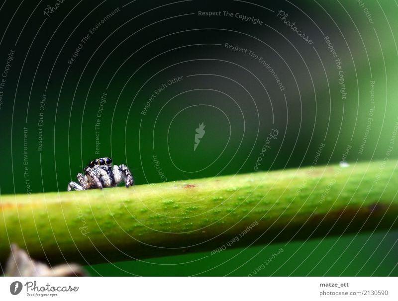 Kleine Spinne mit großen Augen Natur Pflanze weiß Tier ruhig schwarz klein sitzen warten bedrohlich Tiergesicht Springspinne Zebraspringspinne
