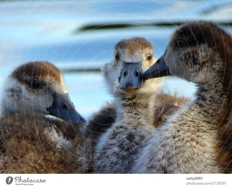 Jugendgruppe... Tier Gans Nilgans 3 Tiergruppe Tierjunges beobachten sprechen Kommunizieren frech Zusammensein Neugier niedlich braun Partnerschaft Zusammenhalt