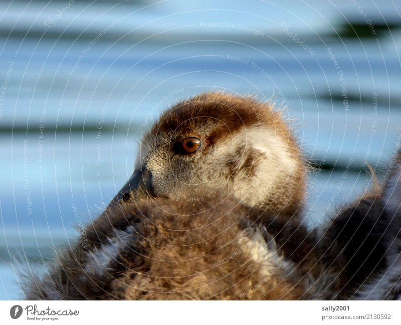 Nachzügler... Tier Gans Nilgans 1 Tierjunges beobachten Blick frech Freundlichkeit Neugier niedlich braun weich Auge Schnabel Farbfoto Außenaufnahme Tag