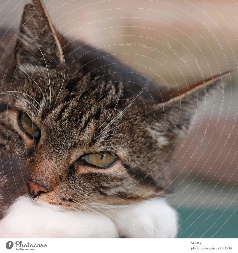just watching Katze Natur weiß Tier ruhig braun beobachten Pause Gelassenheit Haustier Vertrauen Geborgenheit bewegungslos bequem verschlafen Katzenkopf