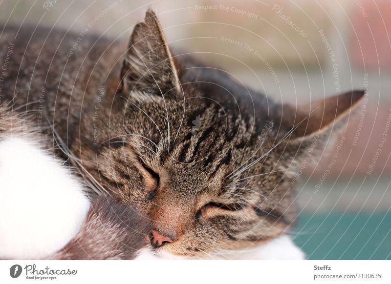 Entspannung Natur Tier Haustier Katze Tiergesicht Fell Katzenkopf Katzenohr Hauskatze schlafen natürlich schön braun Vertrauen Geborgenheit Warmherzigkeit