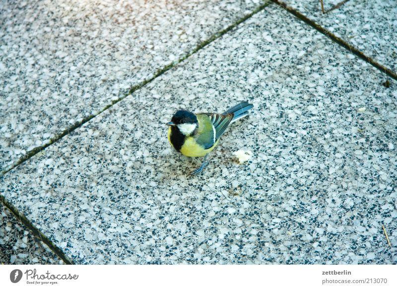 Kohlmeise Vogel stehen Freundlichkeit Neugier niedlich Meisen Terrasse Fuge füttern Brotkrümel Feder Singvögel Farbfoto Außenaufnahme Textfreiraum links