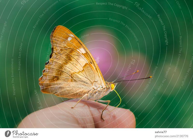 vom Lieben und Lassen | auf den Geschmack gekommen Natur Tier Sommer Schmetterling kleiner Schillerfalter 1 genießen krabbeln frech braun grün orange rosa