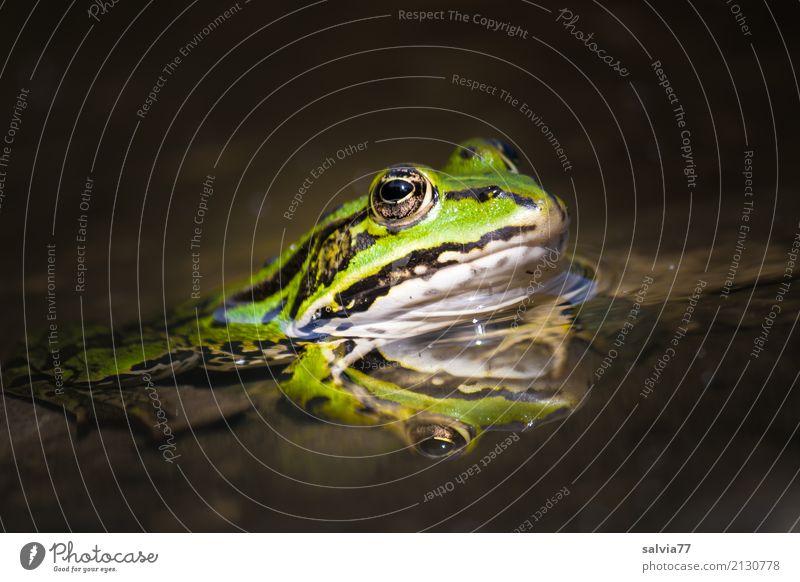 Spieglein Spieglein... Natur grün Wasser Tier ruhig Umwelt braun Perspektive warten Wachsamkeit Jagd Tiergesicht Teich Frosch Märchen geduldig