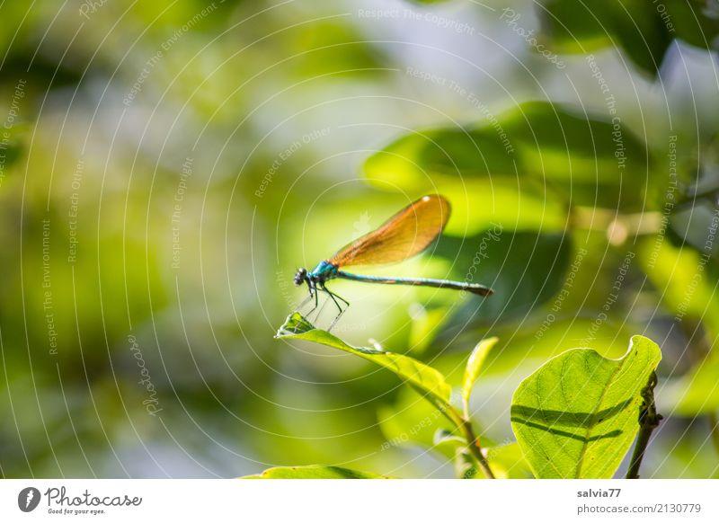 Versteckspiel Natur Pflanze Tier Sommer Sträucher Blatt Wald Flügel Insekt Libelle Prachtlibellen 1 grün Leichtigkeit Pause Tarnung verstecken Lichtspiel