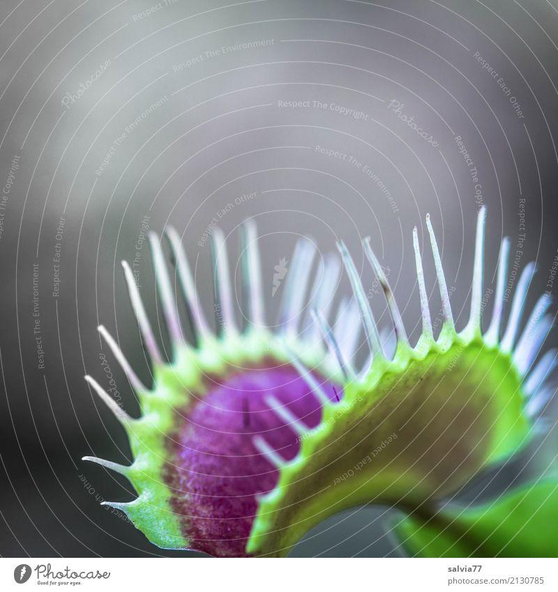 verlockende Falle Natur Pflanze Blüte Wildpflanze exotisch Venusfliegenfalle Moor Sumpf warten außergewöhnlich Duft grau grün rot bizarr bedrohlich Risiko