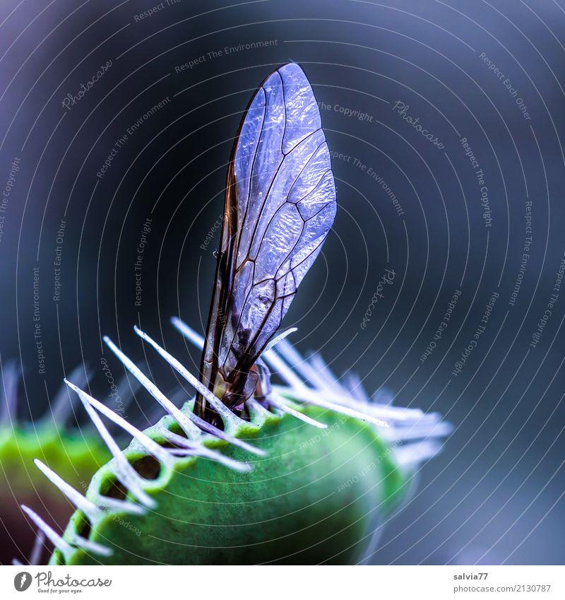 gnadenlos Umwelt Natur Pflanze exotisch Venusfliegenfalle Totes Tier Fliege Flügel Insekt fangen Fressen Aggression außergewöhnlich bedrohlich dunkel klug
