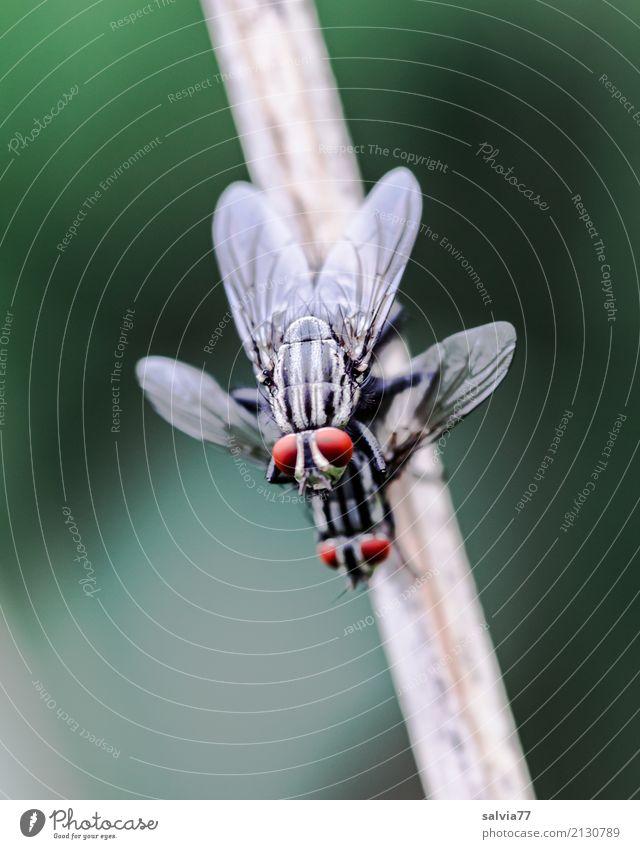 Feierlaune | zu zweit macht's mehr Spaß Natur Tier Stengel Fliege Tiergesicht Flügel Insekt Sex Facettenauge 2 genießen oben grau grün rot Glück Lebensfreude