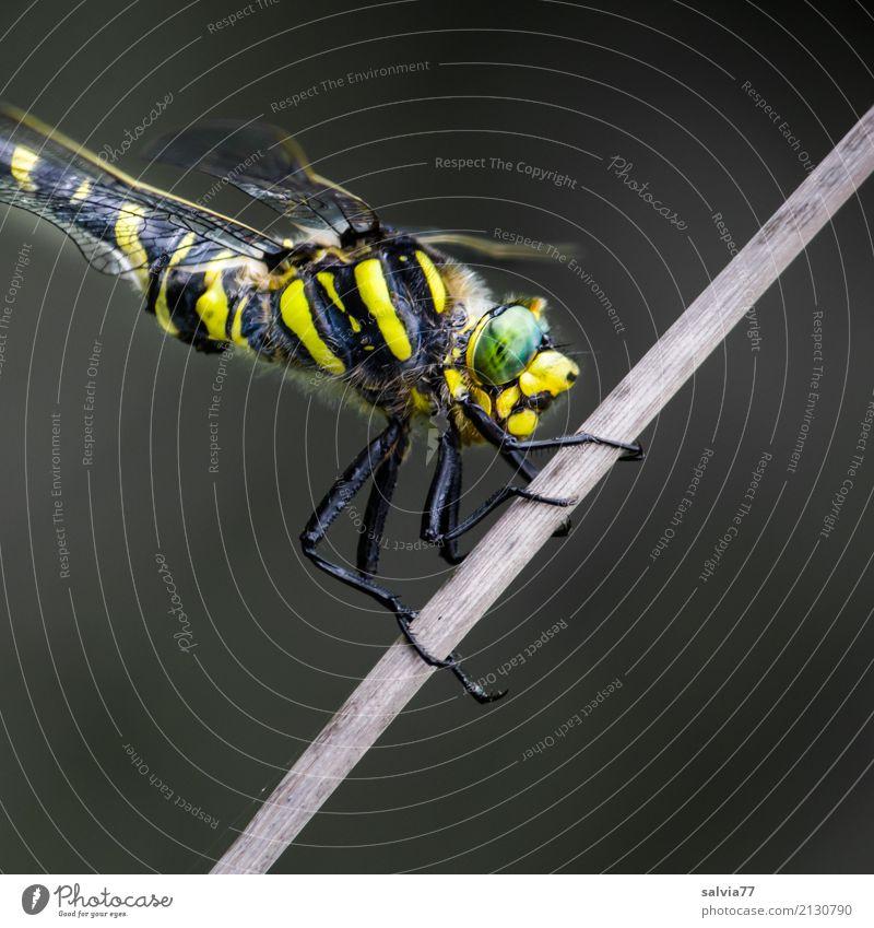 alles im Blick Natur grün Tier schwarz gelb grau warten beobachten festhalten Insekt Wachsamkeit exotisch Jagd Leichtigkeit Symmetrie geduldig
