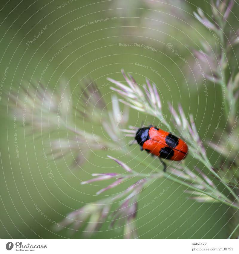 Jenseits des Mainstreams | Naturschönheiten am Wegesrand Umwelt Pflanze Tier Sommer Gras Blüte Grünpflanze Gräserblüte Wiese Feld Käfer Insekt 1 krabbeln
