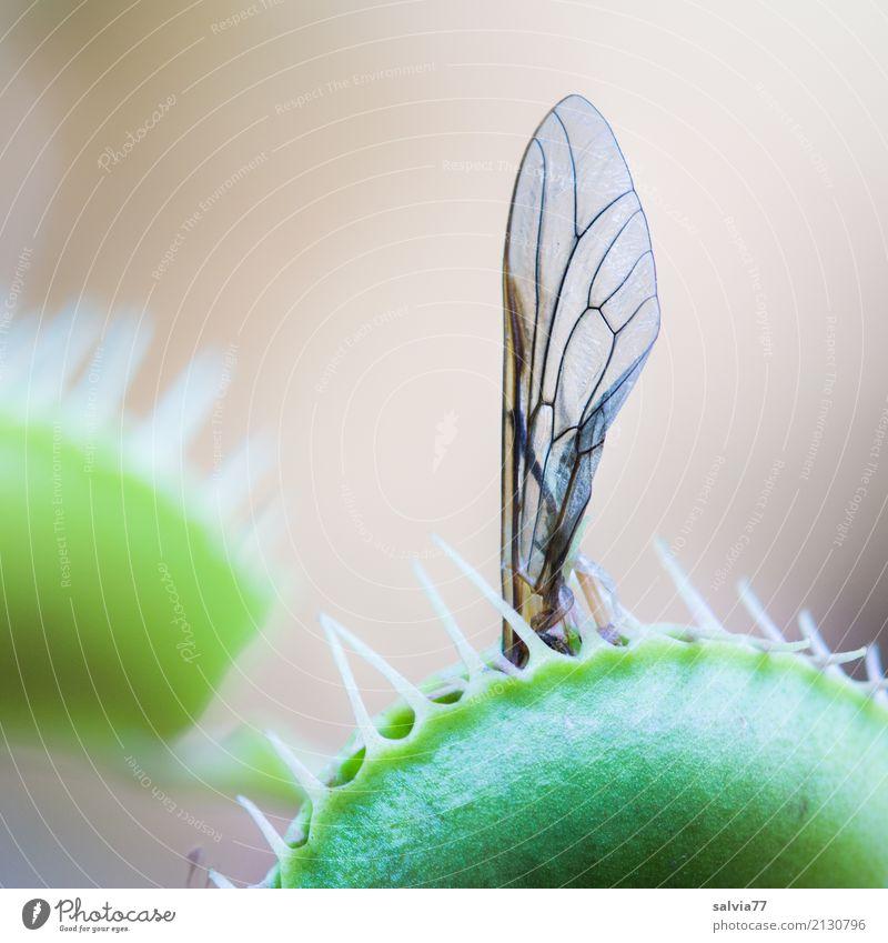 Vorsicht Falle Natur Pflanze Insekt Flügel Venusfliegenfalle grün Fleischfresser Fliege Fressen außergewöhnlich exotisch gefährlich Makroaufnahme bedrohlich