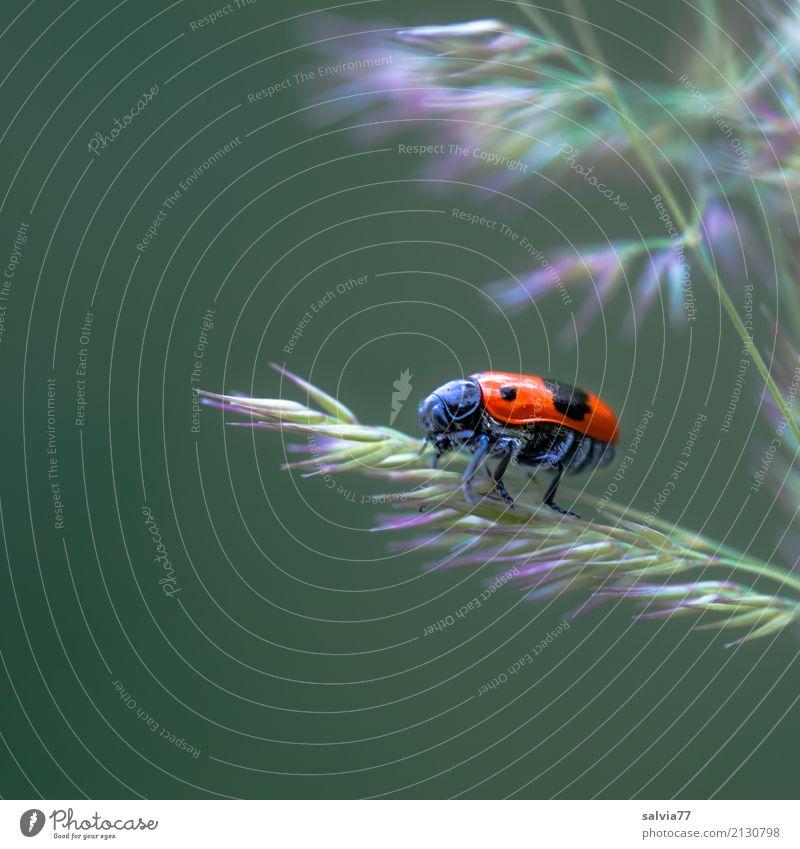 Karl der Käfer Umwelt Natur Pflanze Tier Sommer Gras Blüte Wiese Insekt 1 krabbeln klein niedlich oben grün rot schwarz Perspektive Wege & Pfade Kontrast