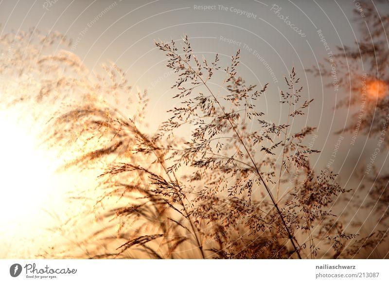 Sommerabend Umwelt Natur Landschaft Pflanze Sonne Sonnenaufgang Sonnenuntergang Sonnenlicht Klima Wetter Schönes Wetter Gras ästhetisch Wärme braun gelb gold